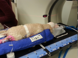 Baci receiving stereotactic radiosurgery treatment for a brain tumor.