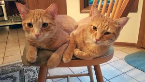 The Eggleton family's two orange tabby cats