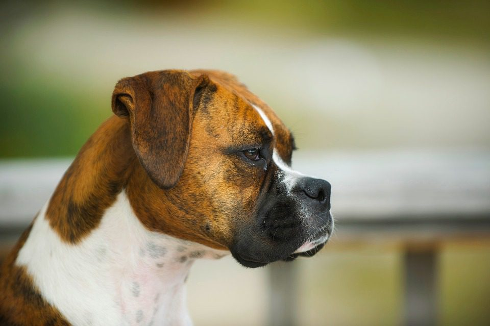 Boxer dog profile view on a blurred outdoor background.