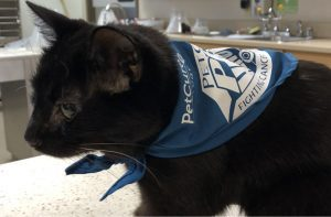 Cat treated for cancer by PetCure Oncology