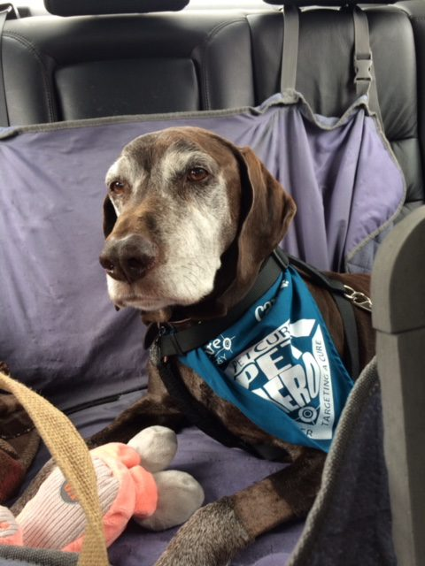 Cosmo the dog thrives after stereotactic radiation treatment with PetCure Oncology