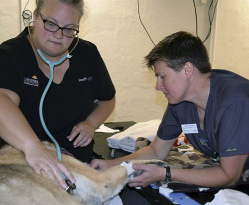 Amy Crisman, R.T. working with veterinary technician