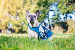 French Bulldog treated for cancer at PetCure Oncology