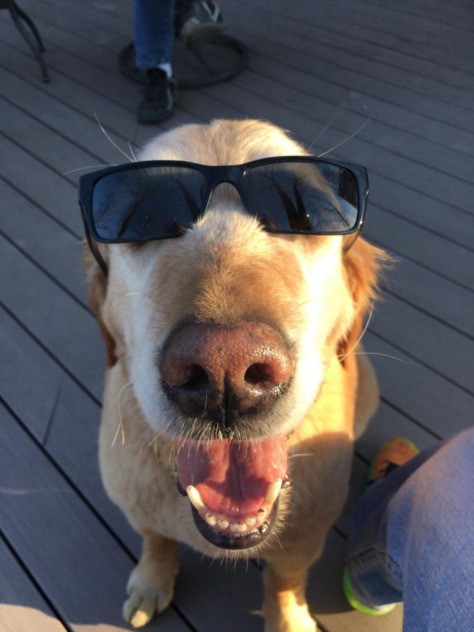 PetCure Pet Hero Mark the Lovable Golden Retriever and cancer survivor
