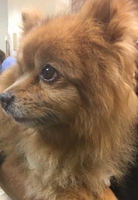 Peanut the Pomeranian Dog Cancer Patient