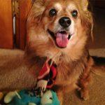 Pet Hero Gizmo Pomeranian Mix
