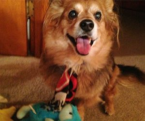 Pet Hero Gizmo Pomeranian Mix is a survivor or dog cancer and is playing with new toys