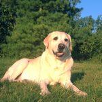 PetCure Pet Hero Sundance, yellow labrador