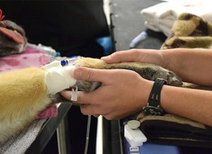 PetCure Radiation Therapist Amy holding patient's paw