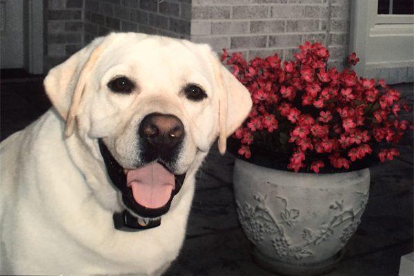 PetCure Pet Hero Cooper the Labrador Retriever After Cancer Treatment