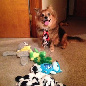 Gizmo the dog loves to play with his toys. Look at that pile of plush dog toys!