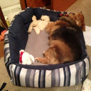Gizmo the dog who survived cancer is tired and taking a nap in his dog bed after playing all day.