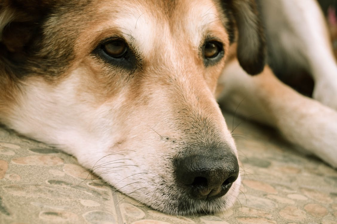 Sad dog in pain cancer laying his head on the floor