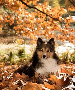 Collie dog enjoying fall leaves