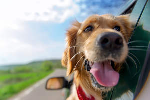 Canine tumor-free golden retriever enjoys car ride