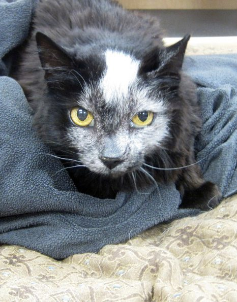 Beauty the Cat, PetCure Oncology patient hero