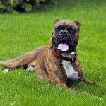 boxer-dog-breed