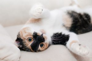 Playful calico cat with orange eyes and laying on her back ready to play