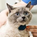 Lilac point cat being examined with a stethoscope by a veterinarian