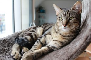 Oral Squamous Cell Carcinomas in Cats | PetCure Oncology