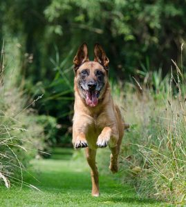 Dog running happily
