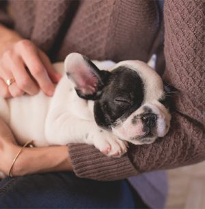 sick-french-bulldog-puppy