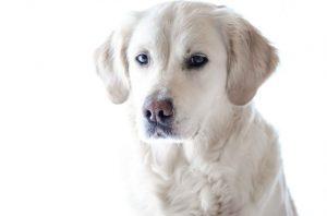 dog with white coat